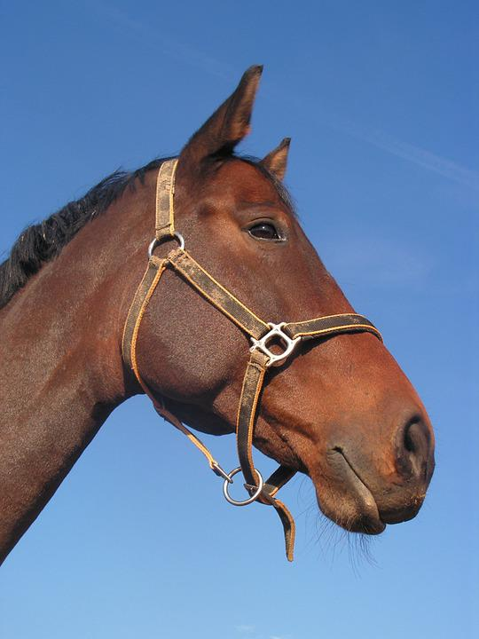 Bay, Portrait, Horse, Halter, Head