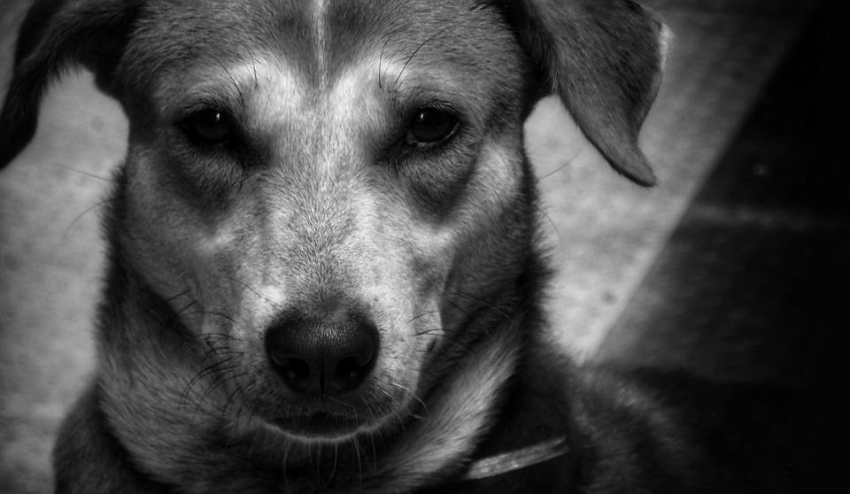 Dog, Indian Pariah, Best Friend, Portrait, Pet, Animal