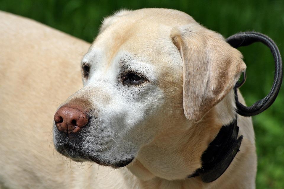 Dog, Animal, Labrador, Portrait