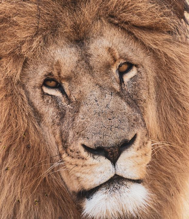 Lion, Portrait, Predator, Africa, Big Cat, Carnivores