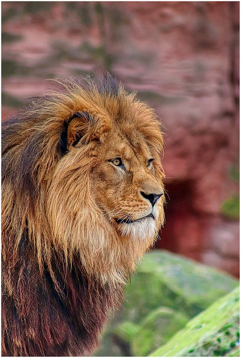 Lion, Mane, Zoo, Big Cat, Cat, Portrait, Animal