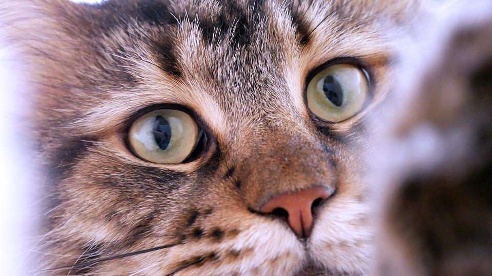 Cute, Cat, Animal, Portrait, Eye, Maincoon