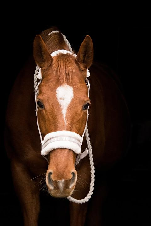 Mammal, Animal, Cavalry, Portrait