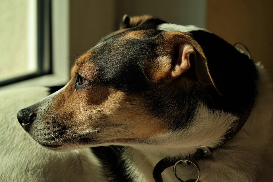 Dog, Animal, Mammal, Cute, Portrait, Pet