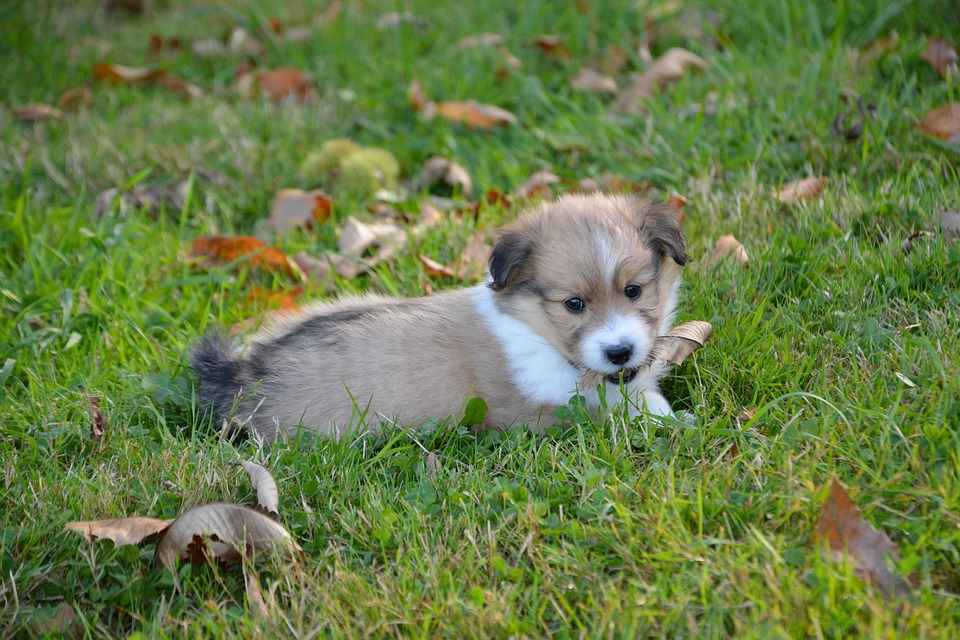 Dog, Puppy, Pup, Cute, Adorable, Portrait, Mammal
