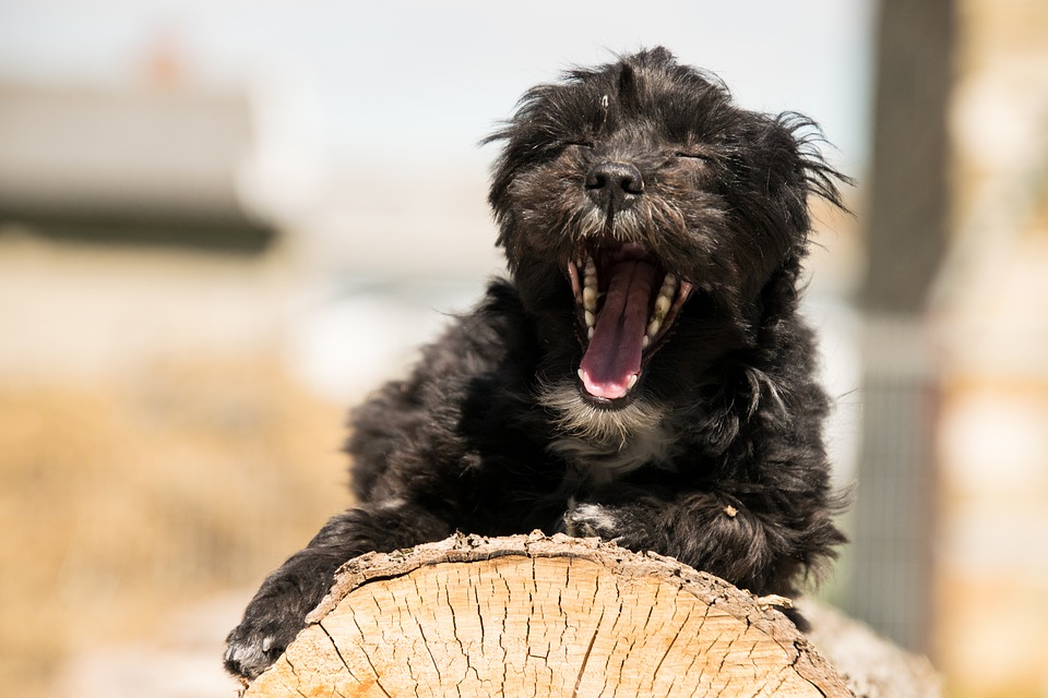 Animal, Mammal, Cute, Dog, Portrait, Hybrid, Yawn