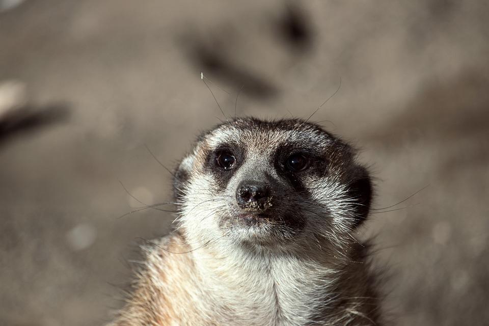 Meerkat, Mammal, Animal, Animal World, Cute, Portrait