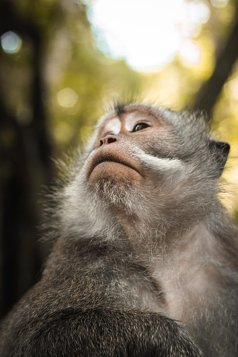 Monkey, Portrait, Travel, Monkey Forest, Ubud