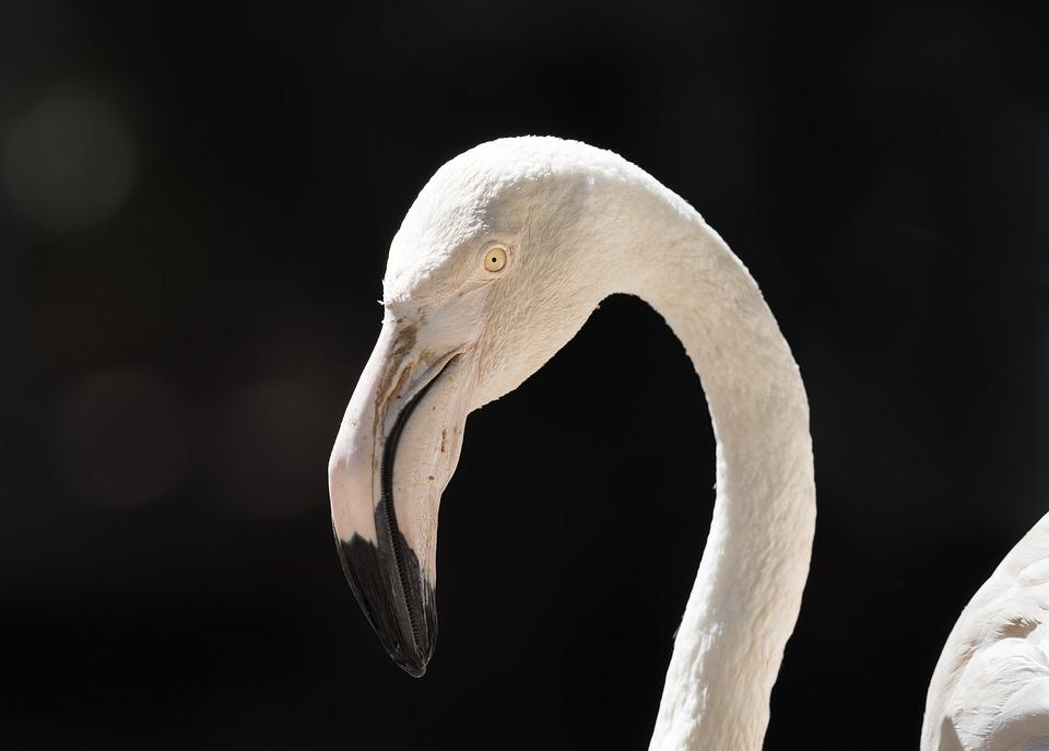 Greater Flamingo, Portrait, Bird, White, Animal, Nature