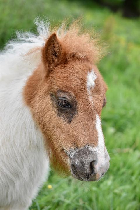 Pony, Portrait Of Shetland Pony, Mane Curly, Eye Pony