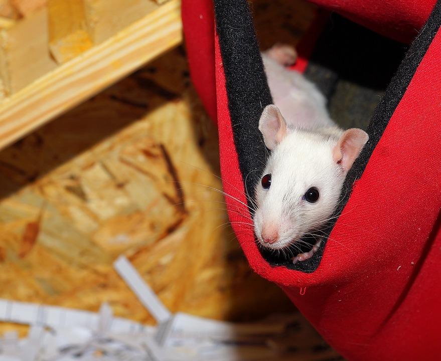 Rat, Rodent, Small, Portrait, Animal, Sweet