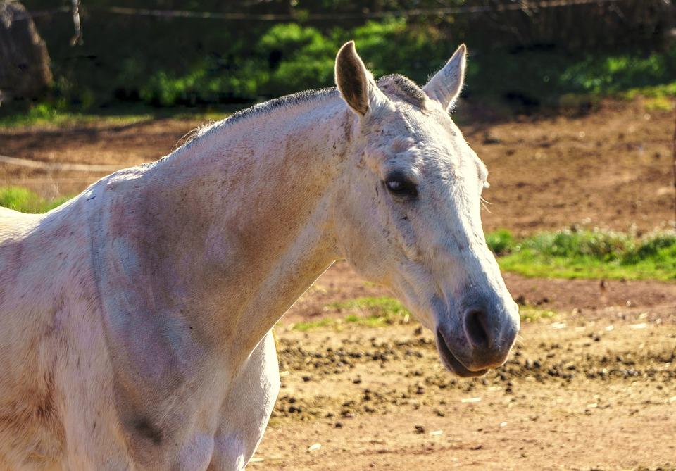 Horse, Animal, Equine, White, Tamed, Portrait, Skin