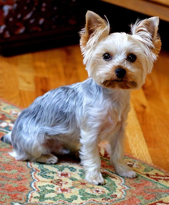 Yorkie, Dog, Cute, Animal, Terrier, Yorkshire, Portrait