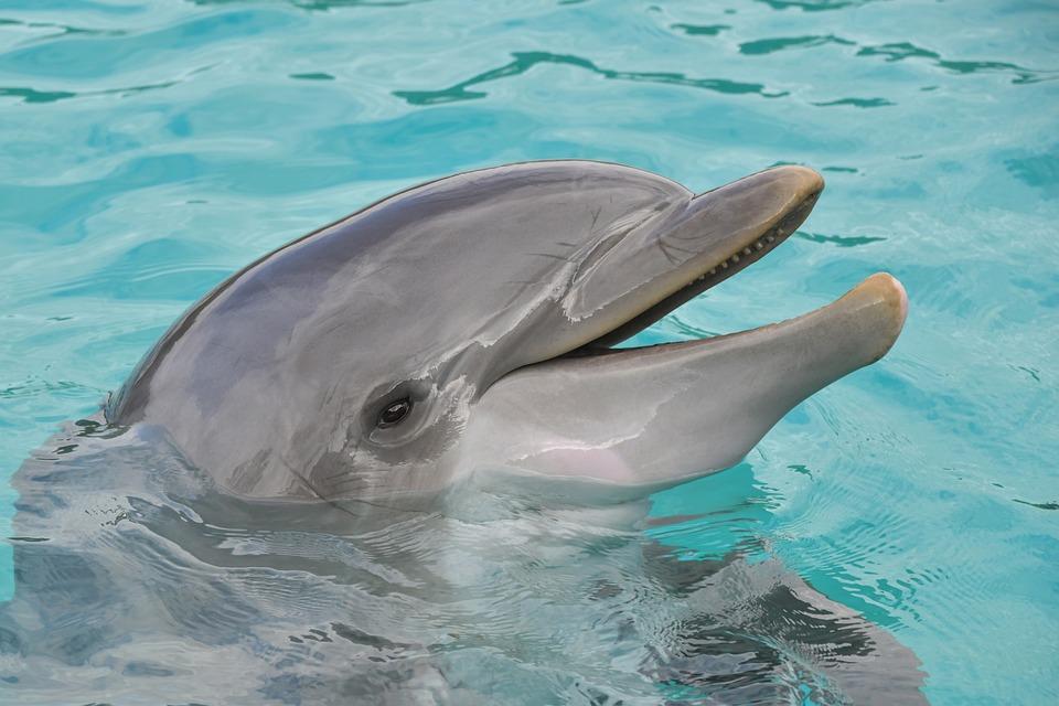 Dolphin, Portrait, Happy, Water, Marine Mammal