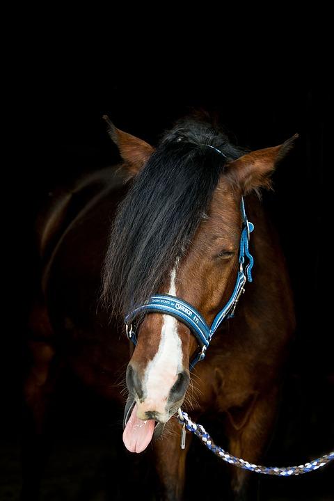 Horse, Pony, Animal, Mammal, Portrait, Halter, Yawn