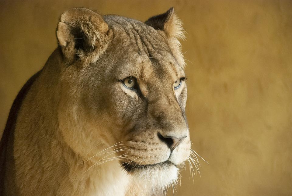 Lioness, Zoo, Colors, Portrait