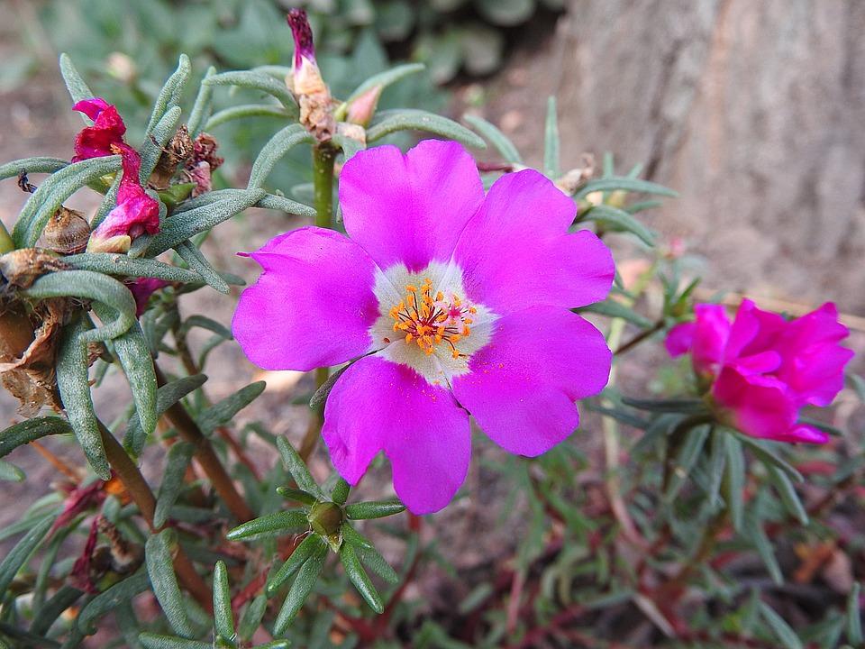 Portulaca Grandiflora, Flower, Portulakgewaechs