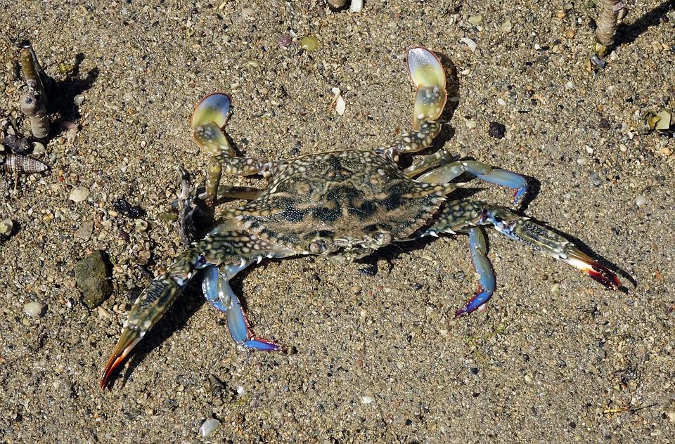 Blue Crab, Crab, Neptunus Pelagicus, Portunus Pelagicus
