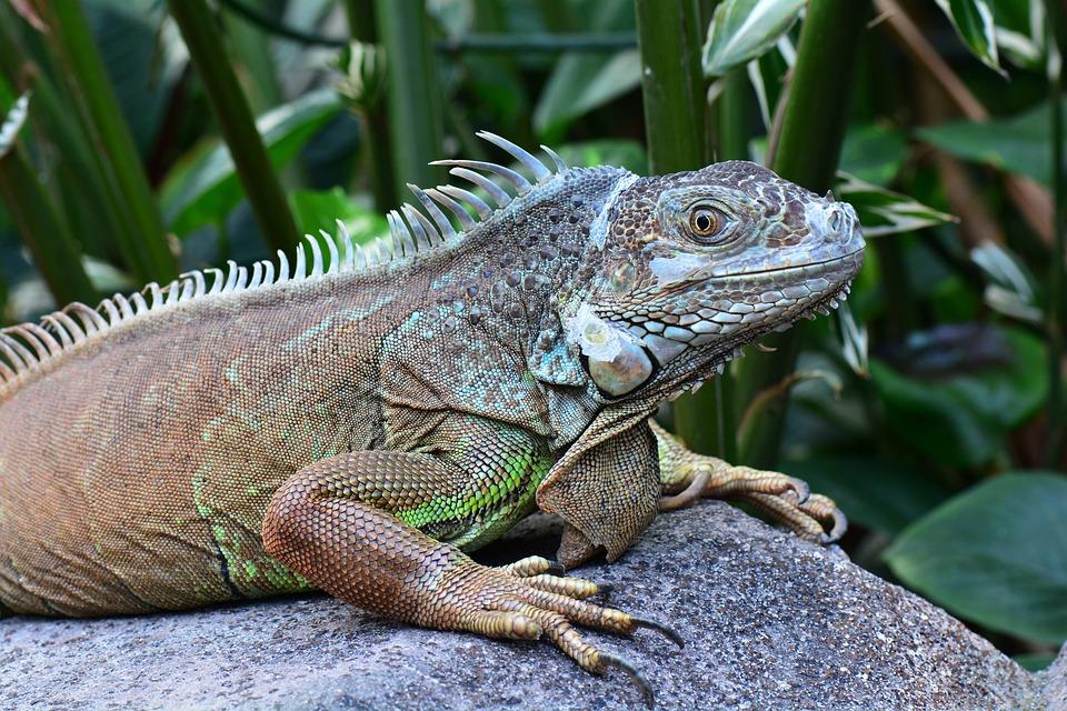 Iguana, Posing, Sunning