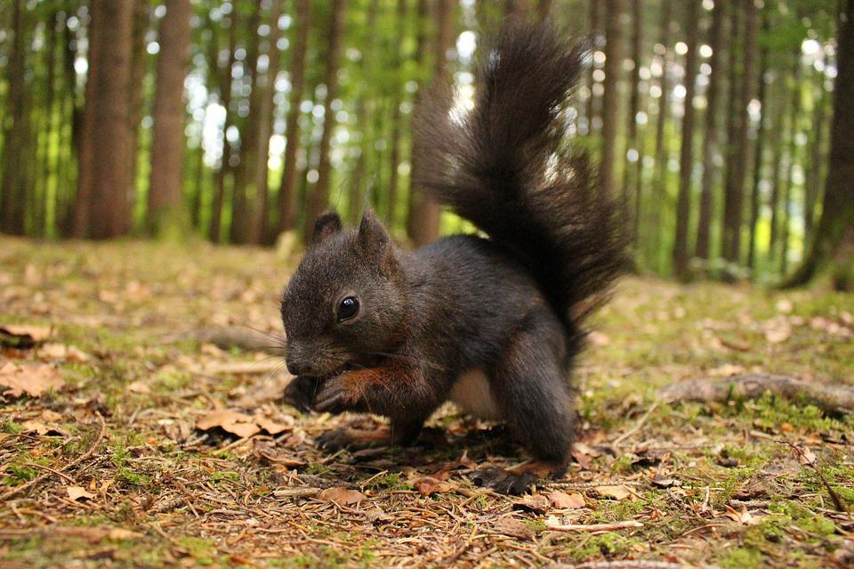 Squirrel, Forest, Cute, Rodent, Nager, Possierlich
