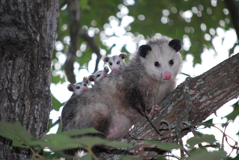 Possum, Opossum, Animal, Young, Wild, Wildlife, Texas