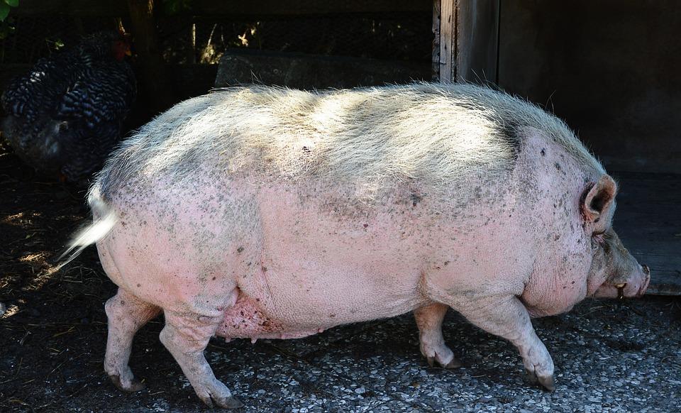 Pot Bellied Pig, Pet, Massive, Slow