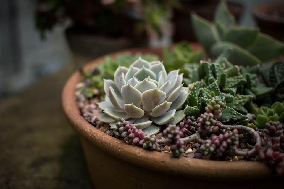 Cacti, Flora, Flowers, Pot, Pot Plants, Succulent