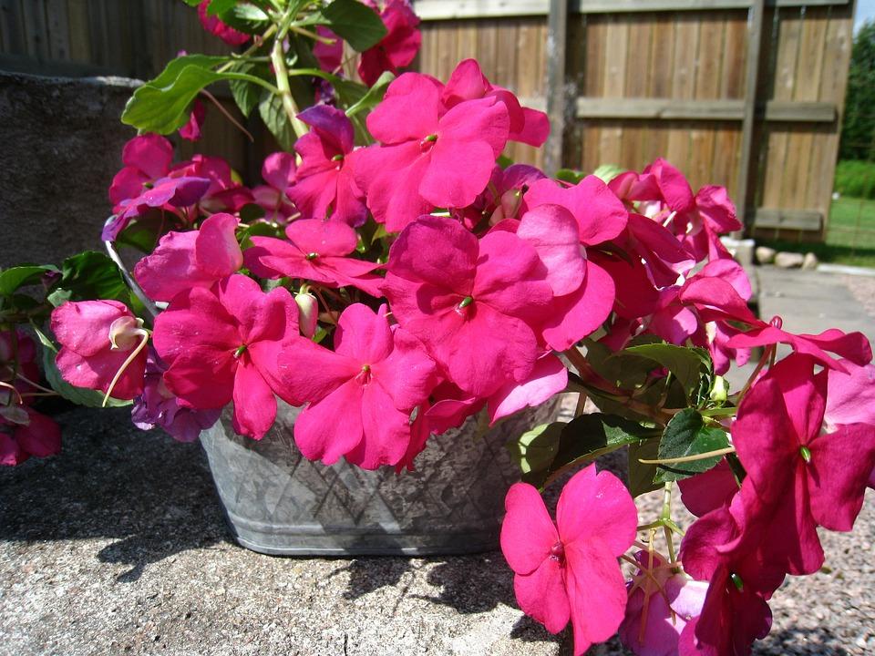 Diligent Lisa, Flowers, Red, Pot, Summer