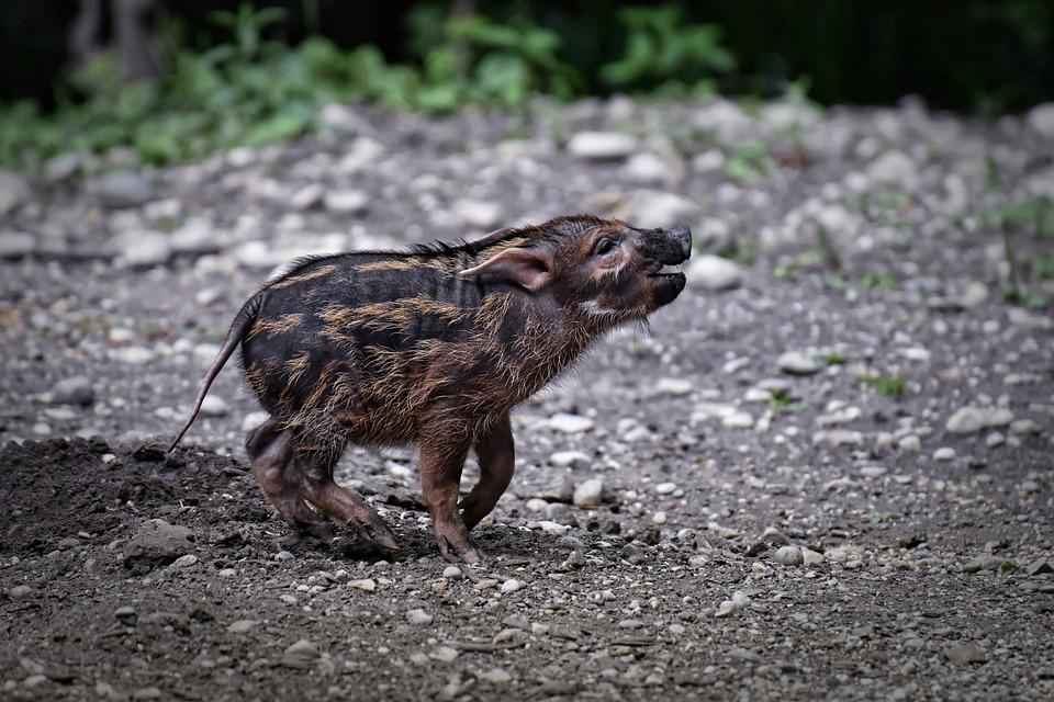 Brush Ear Pig, Potamochoerus Porcus, Young Animal