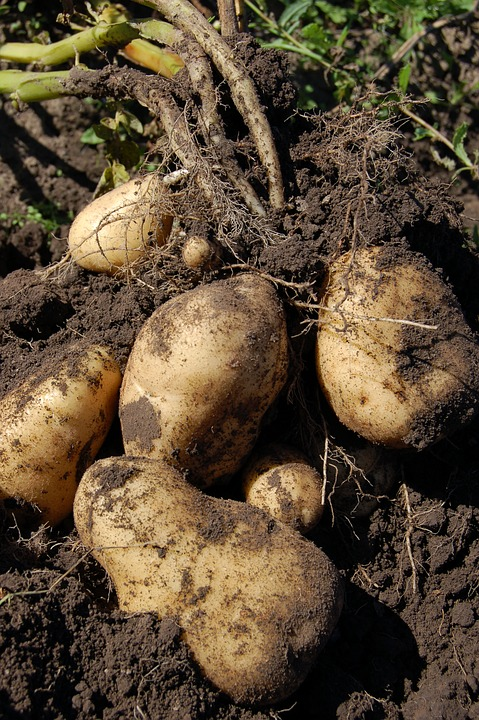Potatoes, Land, Fruit, Why, Potato, Haulm, Light, Roots