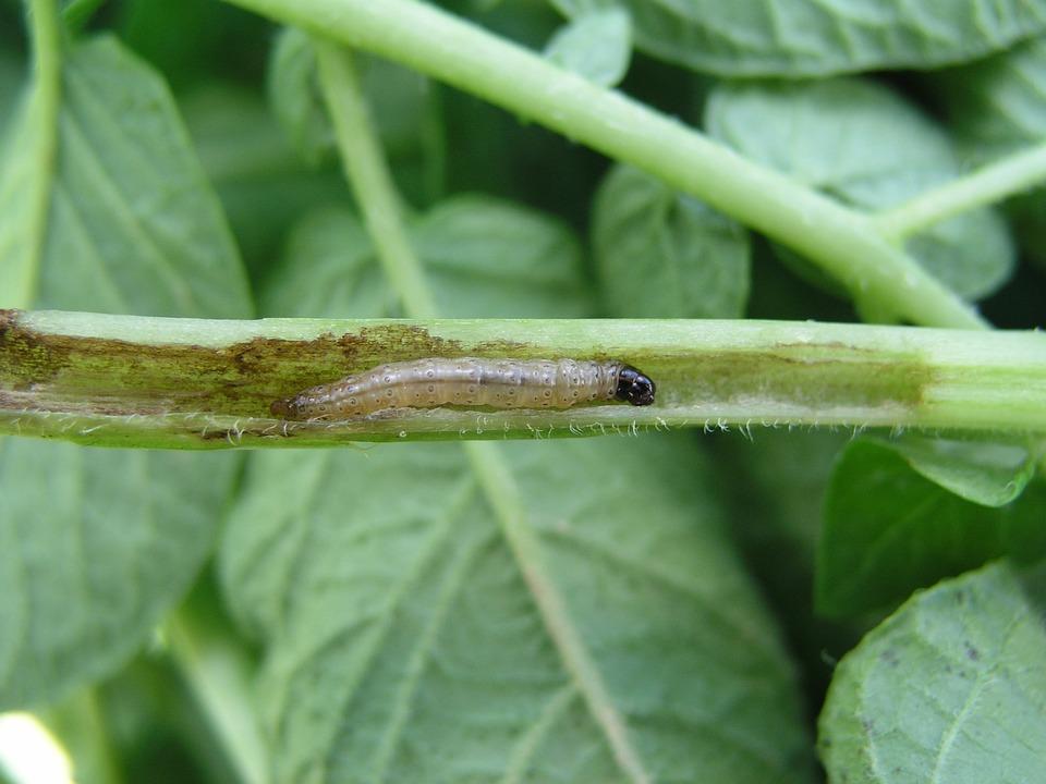 Potato, Insect, Corn Borer, Pest