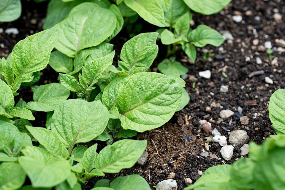 Potato, Plant, Leaves, Potato Cultivation, Cultivation