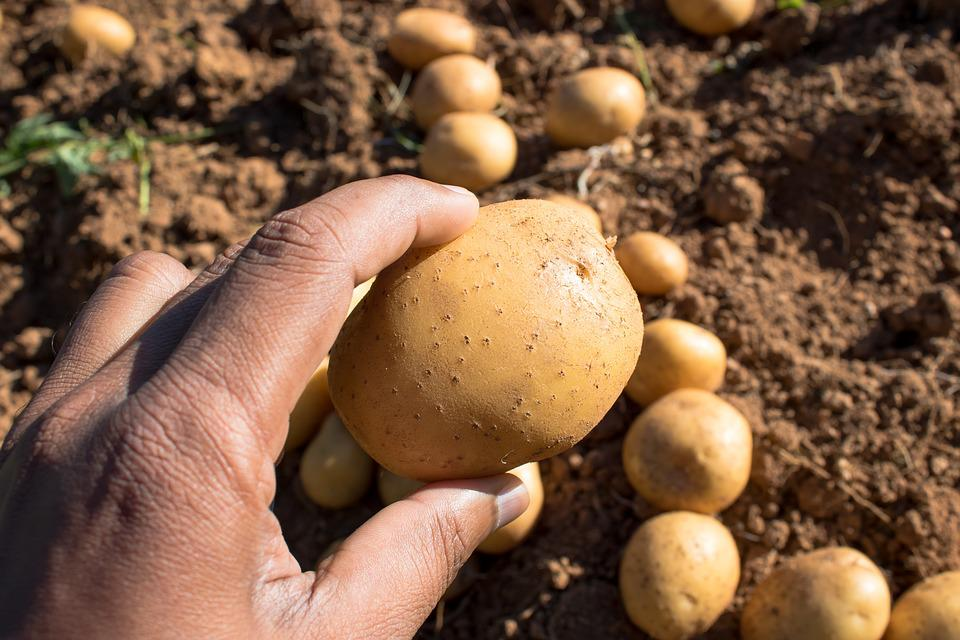 Potatoes, Root Out, Sri Lanka, Agriculture, Organic