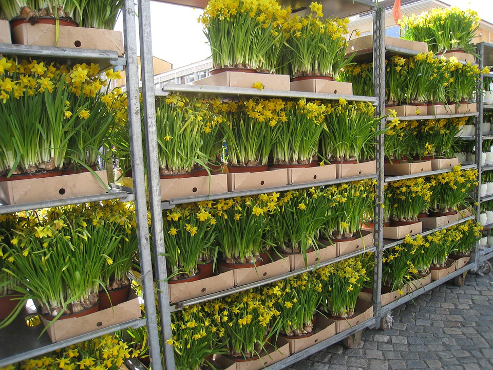 Easter Lilies, Pots, Yellow, Sale