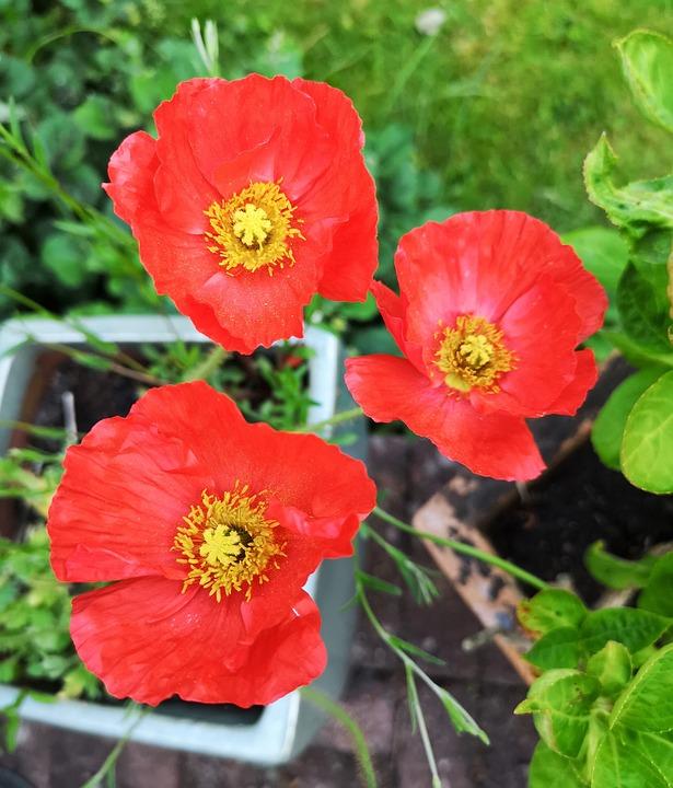Free photo pots red flower poppies poppy grass garden max pixel poppy poppies red flower garden pots grass mightylinksfo