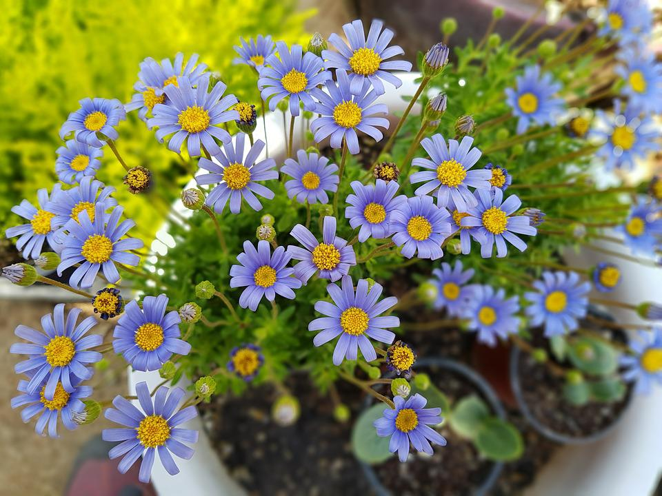 Purple, Potted Plant, Flowers, Mini Potted, Tue-sa