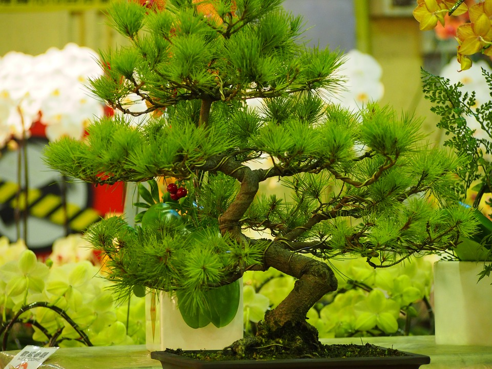 Pine, Potted Plants, Taipei, The Flower Market