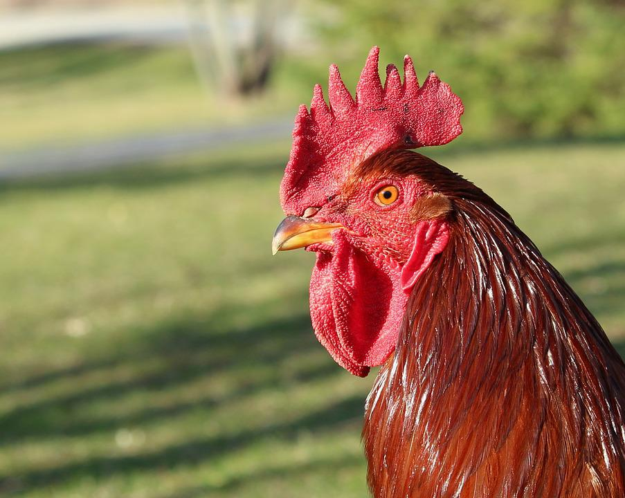 Rooster, Proud, Chicken, Bird, Poultry, Red