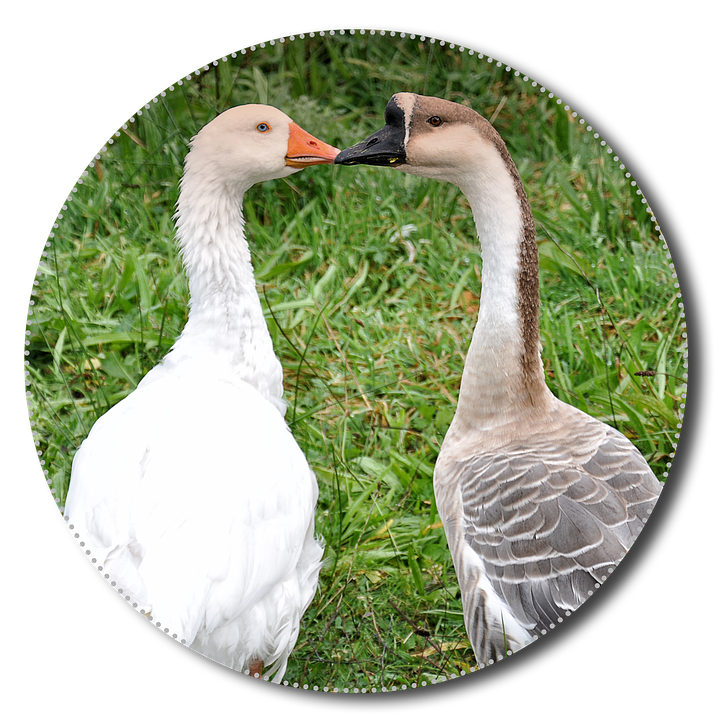 Geese, Png, Animals, Poultry, Isolated, Nature, Bird