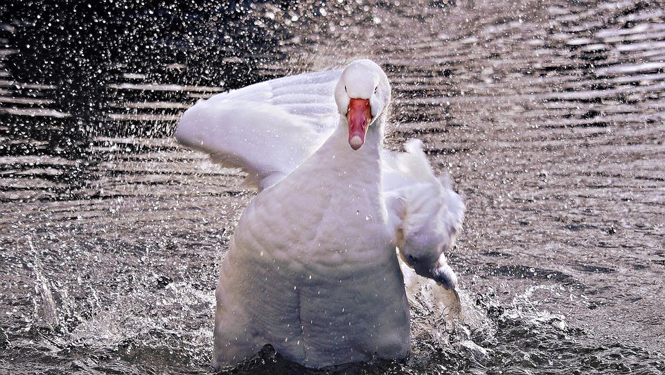 Goose, Domestic Goose, Poultry, Animal, Bird, Duck Bird