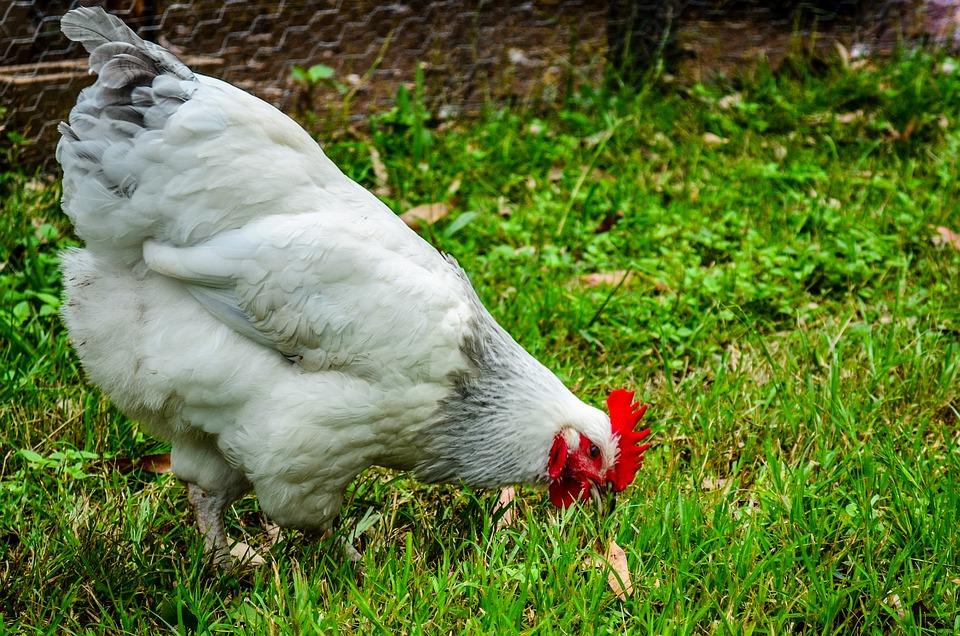 Chicken, Fowl, Hen, Poultry, Meat, Food, Bird, Farm