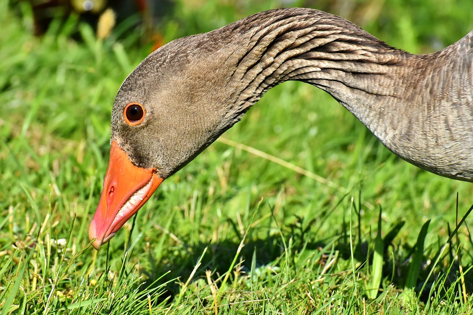 Goose, Wildlife, Bird, Nature, Poultry, Feather, Beak