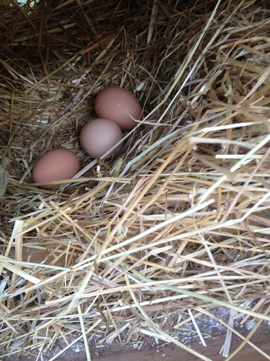 Eggs, Poultry, Organic