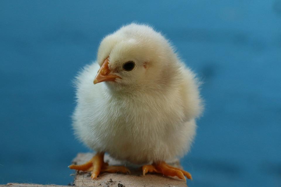 Birds, Poultry, Easter, Chicken, Påskekylling