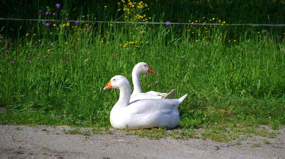 White Geese, Poultry, Seating Animals
