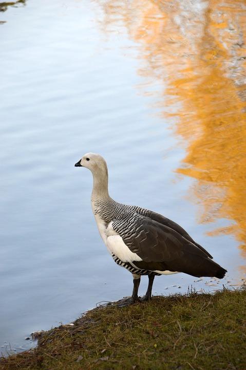 Goose, Bird, Plumage, Water, Wing, Poultry, Pen, Animal
