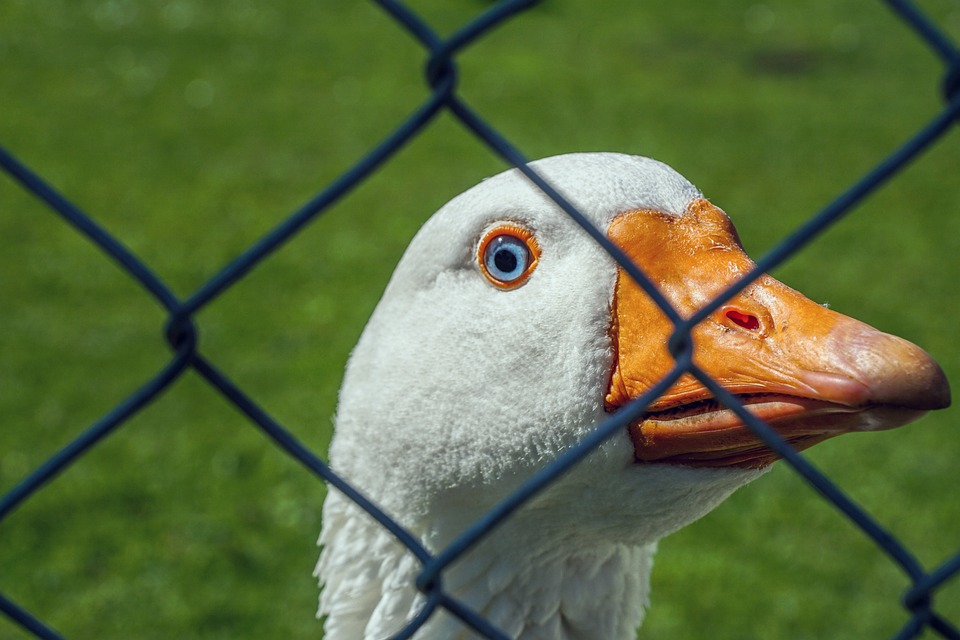 Goose, White Goose, Domestic Goose, Poultry, Bird, Farm