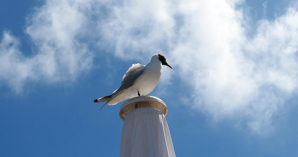 Gull, Poultry, Fly, Sea, White, Feather, Sky, Clouds