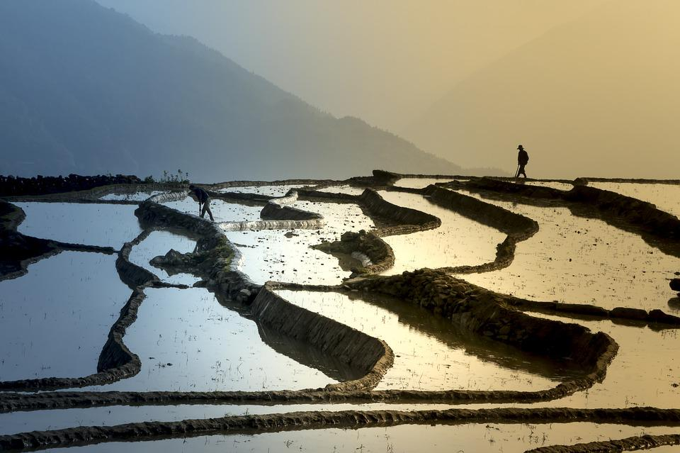 Season, Pour Water, Transplanted Rice, Minority, Field