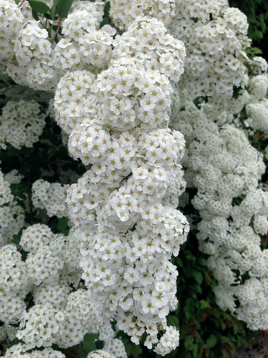 Spiraea, Prachtspiere, White, Spierstrauch, Flowers